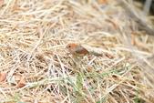 枌紅鸚嘴 Vinous-throated Parrotbill:A23P6131.jpg