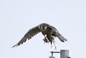 遊隼 Peregrine Falcon:IMG_6340.jpg