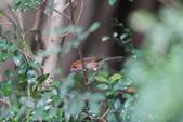 枌紅鸚嘴 Vinous-throated Parrotbill:A23P6311.jpg