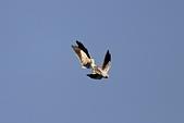 黑翅鳶 Black shouldered kite:IMG_0150.jpg