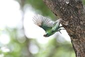 五色鳥:IMG_1714.JPG