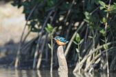 翠鳥 Common Kingfisher:IMG_5634.JPG