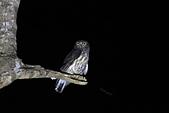 褐鷹鴞 Brown Hawk Owl :IMG_1063.JPG