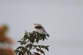 黑翅鳶 Black shouldered kite:IMG_2341.JPG