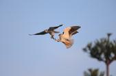 黑翅鳶 Black shouldered kite: