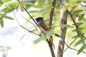亞洲綬帶 Asian Paradise-flycatcher:IMG_2752.JPG
