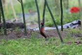 2014 環頸雉 Common Pheasant:A23P6018.JPG