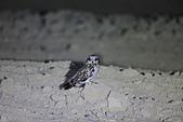 短耳鴞 Short-eared Owl:A23P1265.jpg