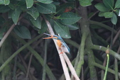 翠鳥 Common Kingfisher:IMG_4947.JPG
