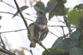 鵂鶹Collared owlet:IMG_9674.JPG