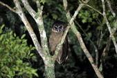 褐林鴞 Brown Wood Owl:A23P7479.JPG