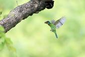 五色鳥:A23P9302.jpg