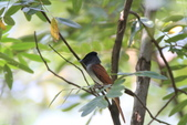亞洲綬帶 Asian Paradise-flycatcher:IMG_2796.JPG