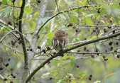 鵂鶹Collared owlet:A23P9016.jpg