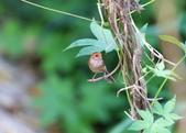 枌紅鸚嘴 Vinous-throated Parrotbill:A23P5973.jpg