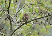 鵂鶹Collared owlet:A23P9018.jpg