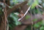 枌紅鸚嘴 Vinous-throated Parrotbill:A23P6386.jpg