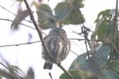 鵂鶹Collared owlet:IMG_9679.JPG