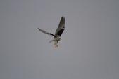 黑翅鳶 Black shouldered kite:IMG_0208.JPG