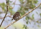鵂鶹Collared owlet:A23P9054.jpg