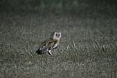 草鴞Grass Owl:A23P0748.jpg