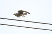紅隼 Common Kestrel:IMG_0750.JPG