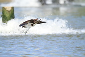 魚鷹 Osprey 捕魚:IMG_0884.JPG
