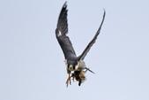 遊隼 Peregrine Falcon:IMG_6342.jpg