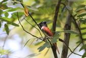 亞洲綬帶 Asian Paradise-flycatcher:IMG_2801.JPG