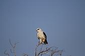黑翅鳶 Black shouldered kite:IMG_3894.JPG
