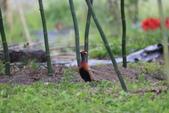 2014 環頸雉 Common Pheasant:A23P6039.JPG