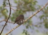 鵂鶹Collared owlet:A23P9140.jpg