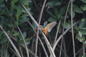 翠鳥 Common Kingfisher:IMG_4975.JPG