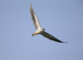 黑翅鳶 Black shouldered kite:A23P1635.jpg