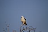 黑翅鳶 Black shouldered kite:IMG_3898.JPG