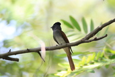 亞洲綬帶 Asian Paradise-flycatcher:IMG_2813.JPG