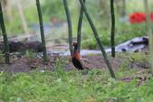 2014 環頸雉 Common Pheasant:A23P6041.JPG