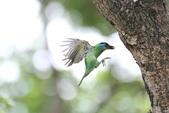 五色鳥:IMG_1737.JPG
