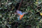 翠鳥 Common Kingfisher:IMG_4744.jpg