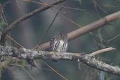 鵂鶹Collared owlet:IMG_9699.JPG