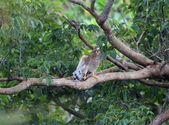 灰面鵟鷹 Grey-faced Buzzard:A23P0803.jpg