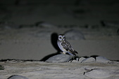 短耳鴞 Short-eared Owl:A23P0468.jpg