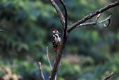 大翅啄木 White-backed Woodpecker:A23P9012.jpg