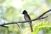 亞洲綬帶 Asian Paradise-flycatcher:IMG_2815.JPG