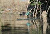 翠鳥 Common Kingfisher:IMG_5722.JPG