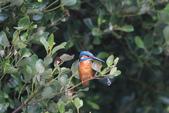翠鳥 Common Kingfisher:IMG_4752.JPG