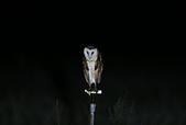 草鴞Grass Owl:A23P9808.jpg