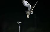 短耳鴞 Short-eared Owl:A23P8082.jpg
