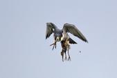 遊隼 Peregrine Falcon:IMG_6343.jpg