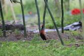 2014 環頸雉 Common Pheasant:A23P6057.JPG